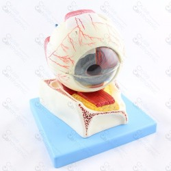 Eyeball anatomy 5x Stand gd103